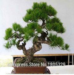 Il trasporto libero 30 pz/borsa giapponese pino semi bonsai fiore facile da piantare fai da te