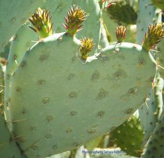 Green Heart Cactus with Flower Bud, t.his healthy cactus had hundreds of budding flower blossoms all over it.