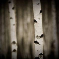 Missing the birch tree outside my childhood window...