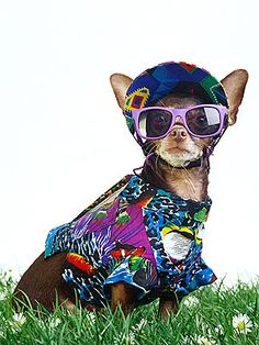 Chihuahua Parade in Kansas City