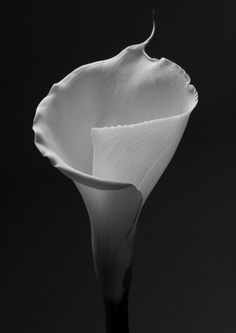 Calla Lily: its meaning says it all