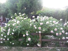 Sweet Life Garden: The Wonder of Roses & The Art of Pegging