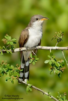 The Yellow-billed Cuckoo (Coccyzus americanus) is a cuckoo. Common folk-names for this bird in the southern United States are Rain Crow and Storm Crow. These likely refer to the bird's habit of calling on hot days, often presaging thunderstorms.