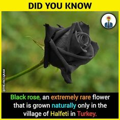It,s nice but red rose ki bat hi alag hai ,🌹 Some Amazing Facts, True Interesting Facts, Interesting Facts About World, Intresting Facts, Unbelievable Facts, Amazing Science Facts, Wierd Facts, Wow Facts, Real Facts