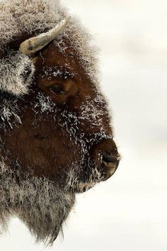 Bison, I think are awesome. I even have a stuffed animal bison from Yellowstone national park. Buffalo S, Buffalo Animal, Buffalo Bills, Beautiful Creatures, Animals Beautiful, Cute Animals, Wildlife Photography, Animal Photography, Cowboy Photography