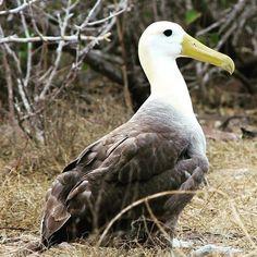 1) Galapagos Albatross #galapagos #galapagosbig15 #wildelife #galapagoscruise #travel http://ift.tt/1Z8gKUj by metropolitantouring