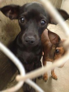 URGENT***OWNER SURRENDER!! Chi female 1-2 years old. Tiny 5lbs Kennel A22. She's all alone! Her sister was adopted today. Please Someone go get her! She's tiny and adorable and needs a home now! Owner surrenders are the first to get euth'd at shelters. Please make sure this doesn't happen to her! Odessa TX Animal Control. https://www.facebook.com/speakingupforthosewhocant/photos/a.573572332667009.1073741829.248355401855372/763703636987210/?type=1&theater