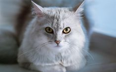 Download wallpapers gray fluffy cat, cute animals, pets, cats