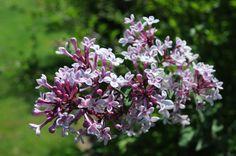lilac-littleleaf-arbusto-perfumado-sementes-flor-e-bonsai-17619-MLB20141478134_082014-F.jpg (1200×797)