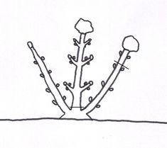 La potatura delle ortensie.