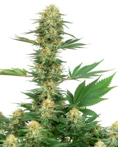 Gelato Feminized by White Label is indica, sativa. It has Afghan, African and Cali parentage. The high is powerful, relaxing and creative. Amnesia, Gelato, Tobacco Store, Hindu Kush, Vape Smoke, Weed Store, Weed Edibles, Edibles Online, Weed Humor