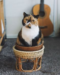American Shorthair, Exotic Shorthair, Maine Coon, Beautiful Cats, Guinea Pigs, Cats And Kittens, Cute Cats, Cat Lovers, Dog Cat