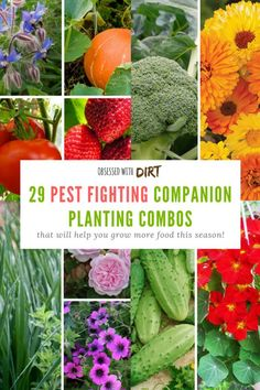 Growing some vegetables side-by-side can have positive effects on one or both of the plants involved. This method of planting is called companion planting, as in, a companion who supports its partner. Companion gardening is incredible easy and a great way Vegetable Garden Planner, Backyard Vegetable Gardens, Tomato Garden, Herb Garden, Garden Pests, Tomato Plants, Garden Bed, Indoor Garden, Gardening For Beginners