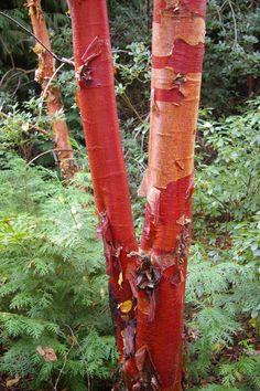 betula albosinensis fascination - Google Search Sun Garden, Bamboo Garden, Garden Trees, Winter Garden, Garden Plants, Deciduous Trees, Trees And Shrubs, Evergreen Garden, Sensory Garden
