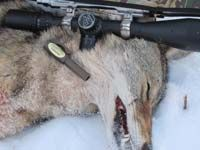 Coyote hunting is thrilling and provides a lot of excitement for a hunter. Our coyote hunting tips will help you be more successful at calling coyotes and other predators in for a closer shot. Predator Hunting, Hog Hunting, Coyote Hunting, Hunting Tips, Archery Hunting, Hunting Stuff, Archery Tips, Coyote Trapping, Varmint Hunting