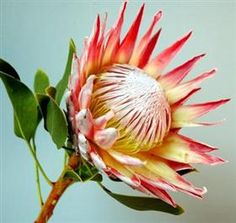 Protea King Red Unusual Flowers, Amazing Flowers, Beautiful Flowers, Tropical Flowers, Spring Flowers, Ikebana, Protea Flower, Botanical Art, Bonsai