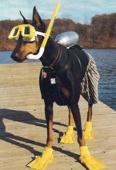 Ready, lets go. Doberman snorkeling ~ re-pinned by doggiechecks.com