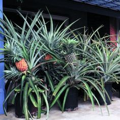 My kid finally decided to like Pineapples this week and thinks we should grow them - check out this related article from Sunset