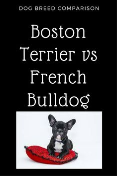 French Bulldog vs Boston Terrier  breed of dog comparison. Similiarities differences health problems size weight lifespan behaviour characteristics Terrier Dog Breeds, Boston Terrier Dog, Terriers, Dog Comparison, French Bulldog Facts, French Bulldogs, Dog Training Books, Training Classes, Training Tips