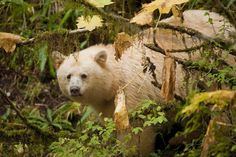 Spirit Bear in Great Bear Rainforest, British Columbia, Canada.  photography by Ian McAllister