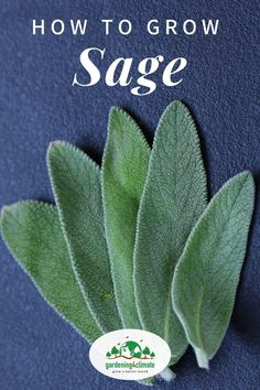 How To Grow Sage - Herb Gardening For Beginners - Sage is an indispensable herb if you like Italian cooking. It is also useful as a medicinal plant. Learn how to grow sage in containers or your herb garden here. Vegetable Garden For Beginners, Gardening For Beginners, Gardening Tips, Gardening Vegetables, Sage Herb, Sage Plant, Container Plants, Container Gardening, Smelling Flowers