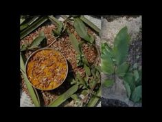 Medicinal Rice P5N Formulations for Avicennia Excess: Pankaj Oudhia's Me...