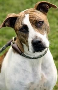 Meet EUTH ALERT- KEEGAN IN RURAL SHELTER IN WV, a Petfinder adoptable Hound Dog | Downingtown, PA | 4122- Keegan a 1yr old male hound mixIF YOU ARE SERIOUS ABOUT ADOPTION PLEASE EMAIL ME FOR DETAILS-...