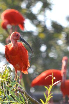 Scarlet Ibis - See More Bird Photos [at] http://www.theenvironmentalblog.org/2012/09/awe-inspiring-bird-photos/