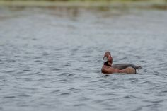 Wild Duck photographed in Vacaresti Delta near Bucharest City. @ andrei raceala
