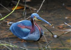 Agami heron: The agami heron (Agamia agami) is a medium-sized heron. It is a resident breeding bird from Central America south to Peru and Brazil.