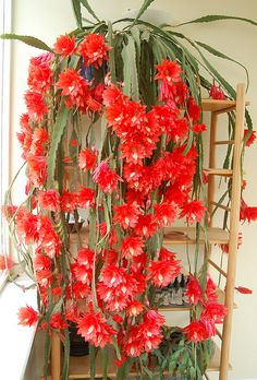 Epiphyllum cactus! i cant wait mine dose like this some day.....