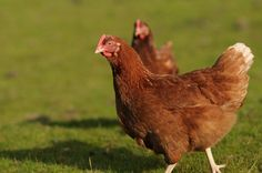 4 Animal Rescues that Give Hens a Sweet Retirement