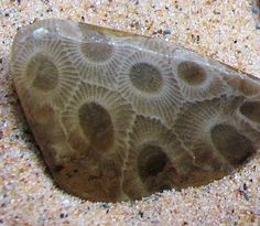Petoskey Stone-Michigan's State Rock It's a fossil coral. Why is it called a Petoskey Stone?  Because many of their kind are found abundantly in and around the Lake Michigan shores of Petoskey? How could the remains of a coral  which thrived in tropical warm waters find its way to Michigan?  Because 350 million years ago during the Devonian Time Period much of North America was covered by warm shallow seas.  Later, the corals were buried under deep layers of sediment.
