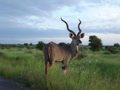 Kudu Bull by Remi Ribes on 500px
