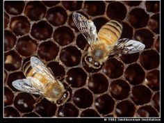 Killer Bees: click to enlarge