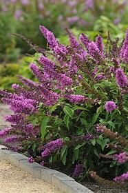 Garden Shrubs, Flowering Shrubs, Landscaping Plants, Trees And Shrubs, Sun Garden, Landscaping Ideas, Garden Plants, Dwarf Butterfly Bush, Butterfly Plants