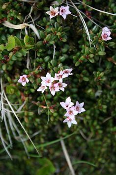 Sauðamergur (Loiseleuria procumbens) by gudnysigga, via Flickr