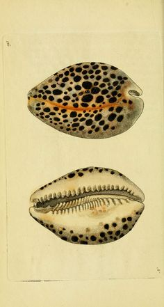 Vintage illustration of the leopard cowry shell Science Illustration, Nature Illustration, Natural Curiosities, Shell Art, Nature Prints, Art Graphique, Vintage Prints, Vintage Graphic, Botanical Prints