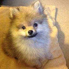 Pomeranian puppy ... Our little Sam