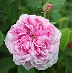 Belle Sans Flatterie rose porte joliment son nom ! C'est une authentique rose ancienne parfumée, aux fleurs bien doubles, en quartiers rose lilas clair, au coloris plus intense au centre. Arbuste de 1,30 m, au feuillage vert sombre sain.  Non remontant. Il est planté dans les jardins de l'impératrice Joséphine à la Malmaison. Gallique. 1806.