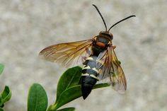 (Cicada) Killer Wasps- fascinating insect