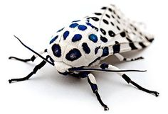 Nature is beautiful....look at the royal blue centered spots    .Commons:Picture of the Year/2008/Finalists/File:LeopardMothBlueSpots