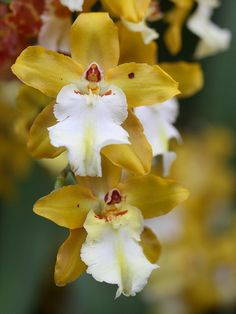 Yellow/White Orchids