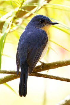 Tickell's Blue Flycatcher in India by  Akshay Charegaonkar