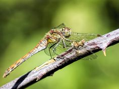 Common Darter - A female common darter dragonfly basking on a branch at Blashford Lakes nature reserve in Hampshire.