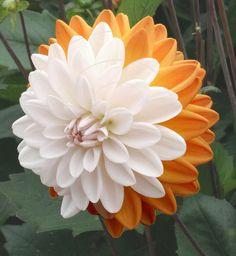Dahlia 'Coupe Soleil'