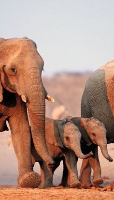 African Elephant Family Group with Two Calves (Loxodonta africana) at Etosha National Park, Namibia - photo by Martin Harvey / Getty Images Elephant Family, Elephant Love, Elephant Walk, Elephant Pics, Happy Elephant, African Elephant, African Animals, African Safari, Beautiful Creatures