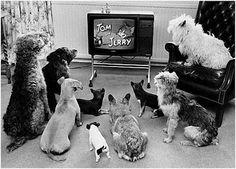 Cachorros assintindo Tv e vendo o Tom e Jerry