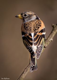 he Brambling (Fringilla montifringilla) is a small passerine bird in the finch family Fringillidae. This bird is widespread throughout the forests of northern Europe and Asia. It is migratory, wintering in southern Europe, north Africa, north India, northern Pakistan, China and Japan.[1] It regularly strays into Alaska during migration and may continue as far south as the western United States.