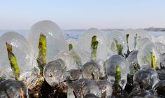 Reed sprouts are covered with ice at Lake Zwischenahner Meer in Bad Zwischenahn, Germany on January 31, 2012. (David Hecker/dapd/Associated Press)